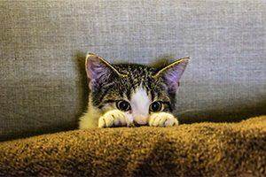 L'anxiété du chat en milieu clos