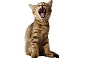Les dents du chat