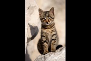 Le coryza (maladie du chat)