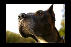 Read more about the article Permis de détention des chiens de catégorie