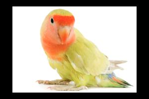 Oiseaux : Coupe des plumes des ailes