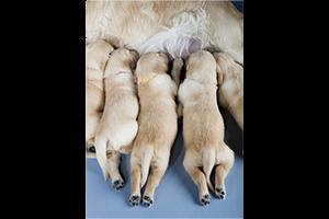 Les vices rédhibitoires chez le chien