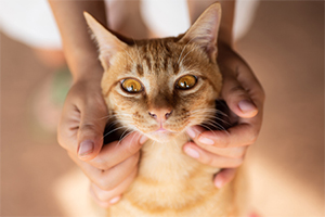 L'hyperthyroïdie chez le chat
